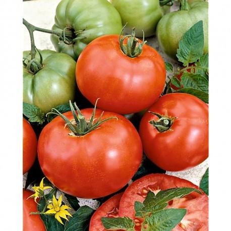semi pomodoro ace 55 vf insalata