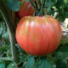semi pomodoro belmonte rosa calabrese